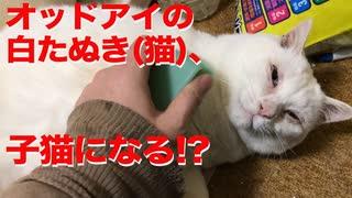 オッドアイの白たぬき(猫)、まさかの子猫帰りを見せる