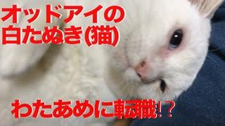 オッドアイの白たぬき(猫)、わたあめ製造に転職する