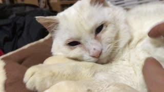 オッドアイの白たぬき(猫)、先住猫と緊迫感ある対面をする