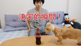 【検証】コーラメントスを初めてみたダックスフンド犬の反応(プリン)