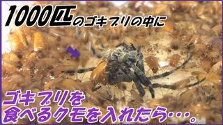 ゴキブリを食べるクモに1000匹のゴキブリを与えたら?~数の暴力が体感できる動画~