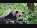 野生のパンダとペアリングした「草草」、3回目の双子を出産