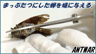 セミを真っ二つに切断して蟻に与えてみたら、少しセミに詳しくなった。