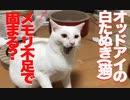 オッドアイの白たぬき(猫)、猫メモリ不足でもっさりする