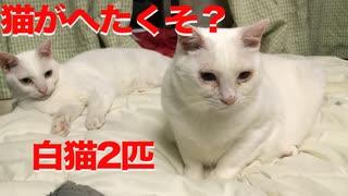 オッドアイの白たぬき(猫)、猫のへたくそさ加減を張り合う