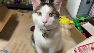 【猫に見つめられる動画】ごはんがほしかった猫