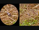 ラピュタのフラプターみたいな虫