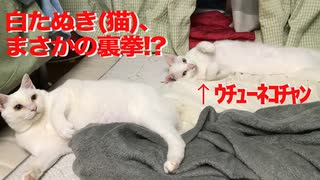 オッドアイの白たぬき(猫)、一家の主猫に裏拳を喰らわせる