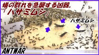 油断しているアリの群れの中にいきなり強敵ハサミムシを入れたら、アリはどうする?