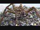 [閲覧注意!!] 再編集 ハシリグモにヌマエビを食べさせてみた。 (Dolomedes yawatai)