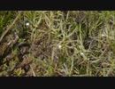 白花ナガバノイシモチソウ群落