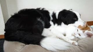 ぬこ枕で寝たいワンコと途中で理不尽さに気付くニャンコ