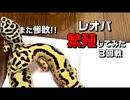 【繁殖】レオパ繁殖に挑戦!! 実践編第3回戦 クーリングなし!!【繁殖方法】