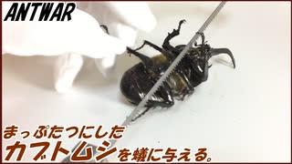 カブトムシを真っ二つに切断して蟻に与えてみようと思ったら、体内に大量の寄生虫が棲んでた。