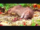 大量 ネズミ 銃撃 RAT SHOOTING