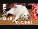 オッドアイの白たぬき(猫)、コロコロ跳ねて落っこちる