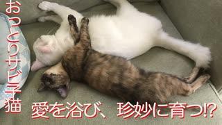 おっとりサビ子猫、ミスター母性のもと珍
