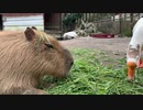 【1分動物】食事中のカピバラ