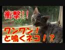 【実写】犬のようにワンワンと鳴くネコ!?【ネコ動画】