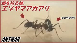 蟻を力ずくで狩って奴隷にしてしまう「エゾヤマアカアリ」。