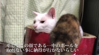 わちゃわちゃ子猫と宇宙猫、鉄板おもちゃに釣られる