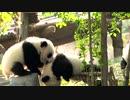 赤ちゃんパンダ7頭、成都パンダ繁殖研究基地で一斉に登場