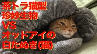 一触即発!茶トラ猫型珍妙生物VSオッドアイの白たぬき(猫)