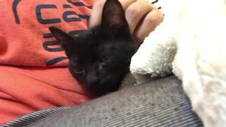 黒い子猫、保護直後に早速くつろぐ