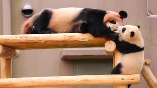 登りたいっ!おしりがかわいい赤ちゃんパンダ彩浜