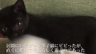 捨てられた黒い子猫、高い家猫ポテンシャルを見せつける