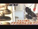 超巨大マダガスカルゴキブリvs挟撃するクロヤマアリ~小さな...