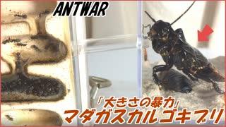 超巨大マダガスカルゴキブリvs挟撃するクロヤマアリ~小さな蟻のプライドと大きさの暴力~
