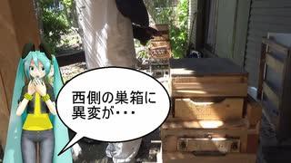 【素人養蜂 Part58】絶望的です
