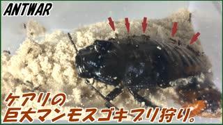 5000匹のケアリvs切断されてないマダガスカルゴキブリ~アリのマンモス狩り~