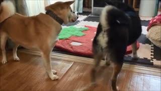【吹いたら負け】人なつっこい柴犬がクールな黒柴犬に軽く説教されるwww