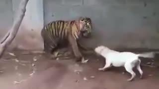 ピットブルVS虎の子供