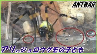 クモの子を散らしたようにアリを避けるジョロウグモの子ども。