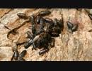 ミルワームの成虫チャイロコメノゴミムシダマシに、エンマコオロギをあげた。