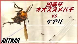 オオスズメバチvs5000匹のケアリ~ホバリングする最強昆虫~