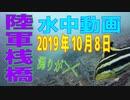 水中動画(2019年10月8日)in 陸軍桟橋