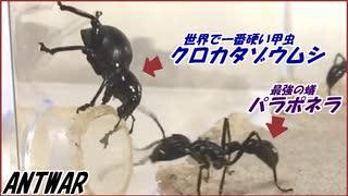 【テラフォ再現】世界一硬いクロカタゾウムシを最強の蟻パラポネラは狩れる?