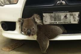 コアラってどんな動物?