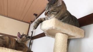 サビ子猫、猫なのに牛歩で成長を見せる