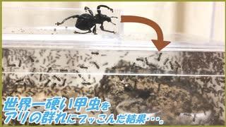 世界一硬い甲虫をアリの群れにぶっこんだ結果・・・。