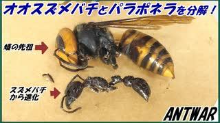 パラポネラとオオスズメバチを切断解体して比べてみたら、進化の過程がよくわかる。