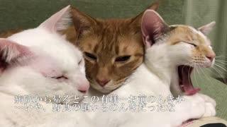 ベテランジャンボ子猫、膀胱炎にかかる