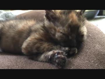 わちゃわちゃサビ子猫、お姫様になる