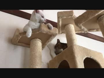 しっぽ捌きマスター猫、サビ子猫を家猫に教育する