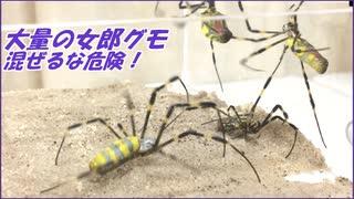 大量のジョロウグモを狭い場所に押し込んだら、危険すぎた・・・。