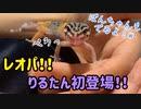 【うさぎ】【レオパ】りるたん登場!ぼんちゃんの先輩!?